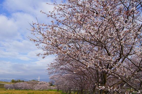140403桜並木-3