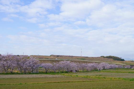 140403桜並木-4