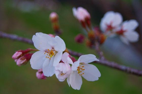 140403桜並木-5