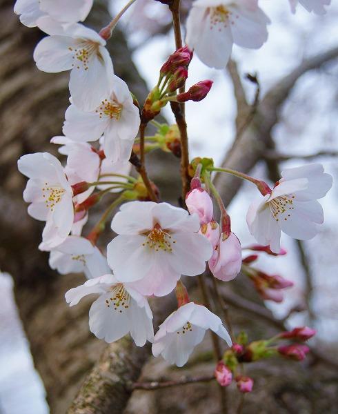 140403桜並木-6