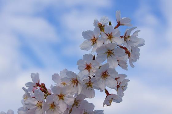 140403桜並木-7