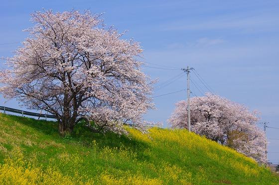 140402桜並木-0