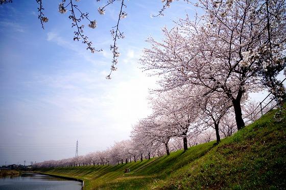 140402桜並木-1