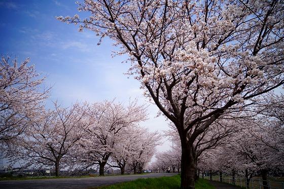 140402桜並木-2
