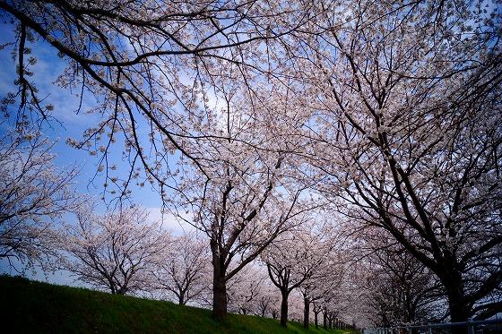 140402桜並木-3