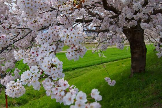 140402桜並木-4