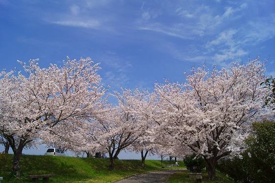 140402桜並木-5