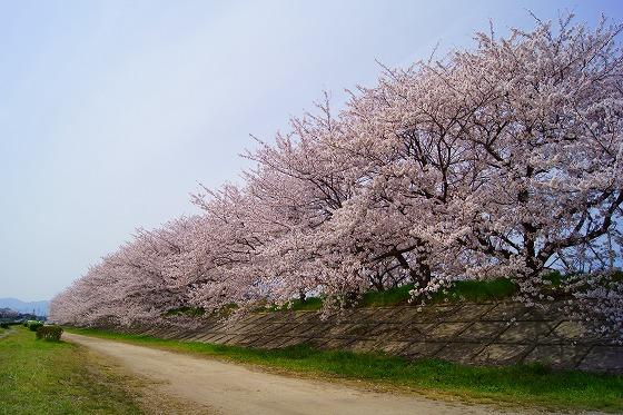 140407海蔵川の桜-1