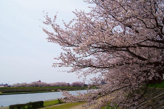 140407海蔵川の桜-2