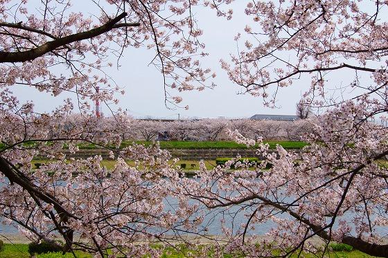 140407海蔵川の桜-3