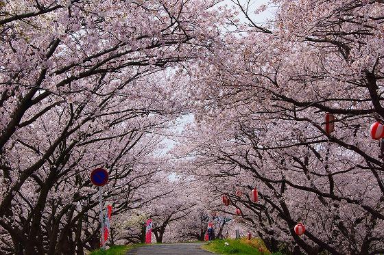 140407海蔵川の桜-4