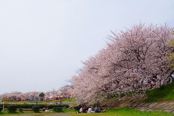 140407海蔵川の桜-5