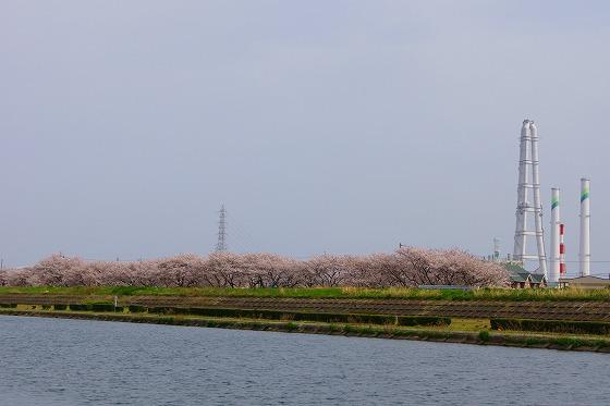 140407海蔵川の桜-6