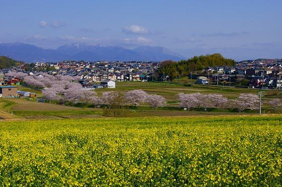 140407千本桜と菜の花