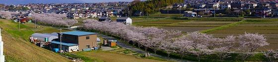 140407千本桜遠望西