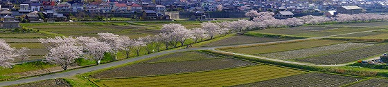 140407千本桜遠望東
