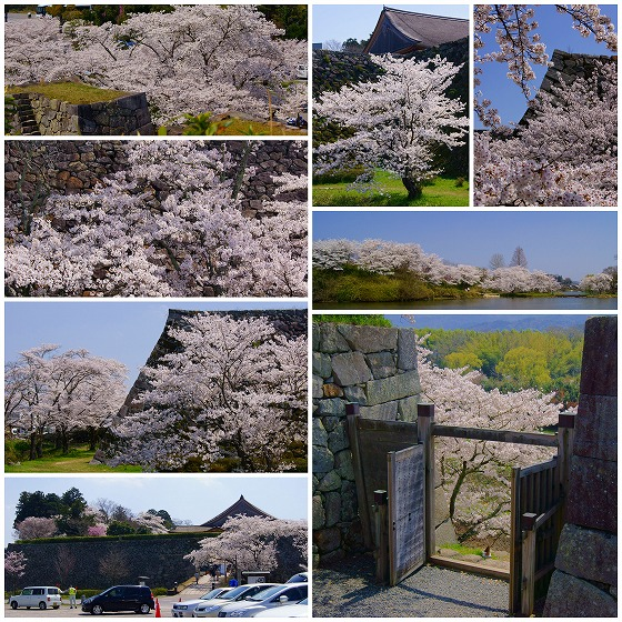 140409篠山城址の桜