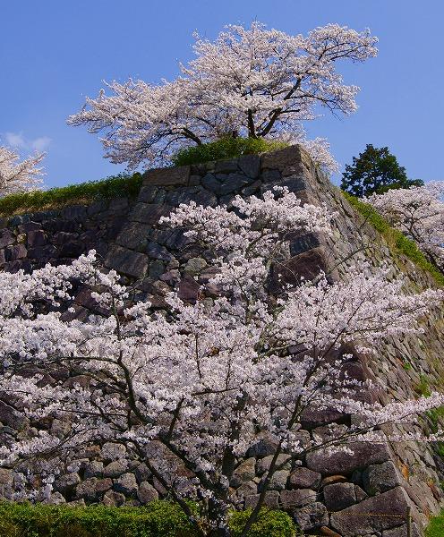 140409篠山城址の桜-1