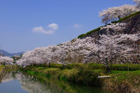 140409篠山城址の桜-2