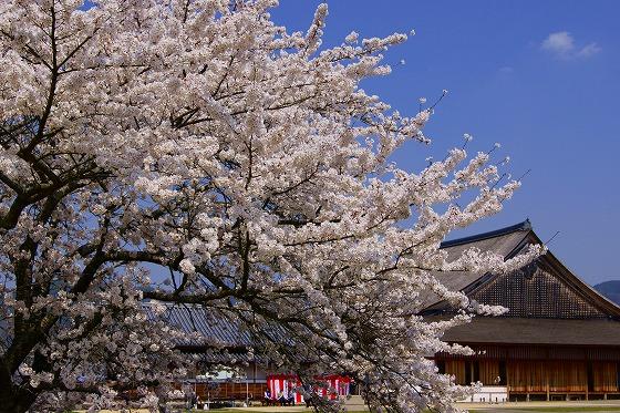 140409篠山城址の桜-3