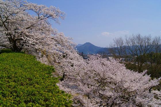 140409篠山城址の桜-4