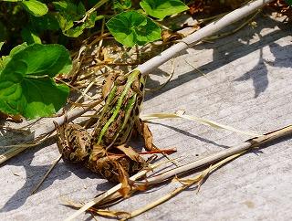 140603敦賀湿地帯のカエル