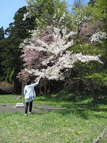 桜140510