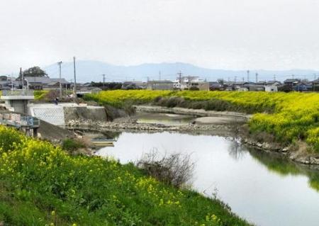 沖の端川の菜の花 076