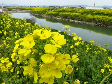 沖の端川の菜の花 022