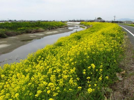 沖の端川の菜の花 058