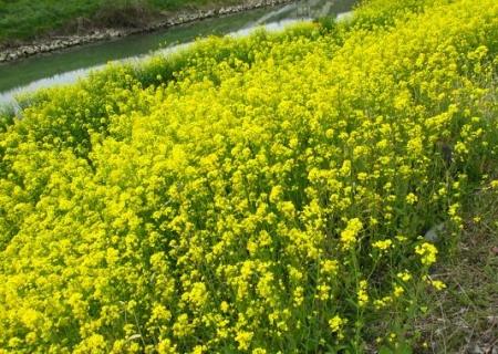 沖の端川の菜の花 025