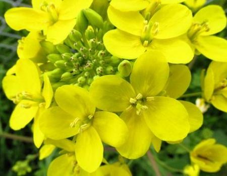 沖の端川の菜の花 082
