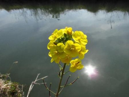 菜の花と蝶と光 020