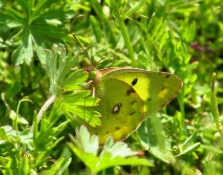 菜の花と蝶と光 005