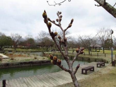 桜公園 052