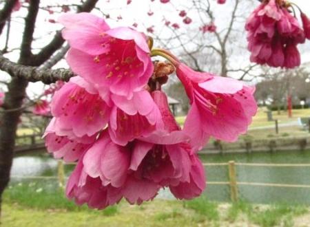 桜公園 041