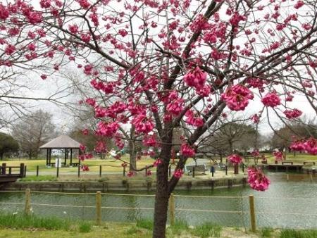 桜公園 045