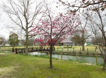 桜公園 039