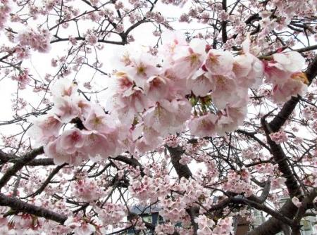 桜公園 008