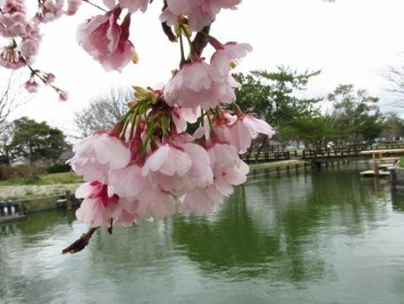 桜公園 007