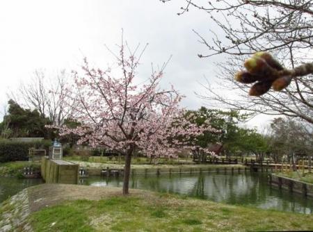 桜公園 021