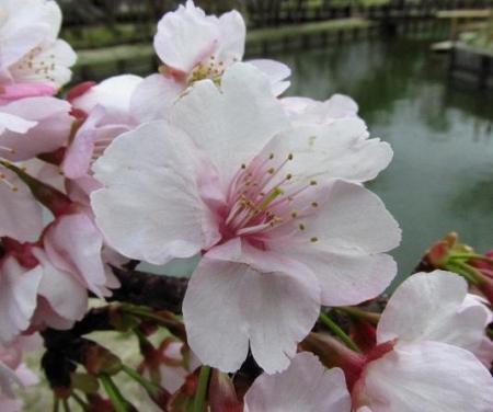 桜公園 005