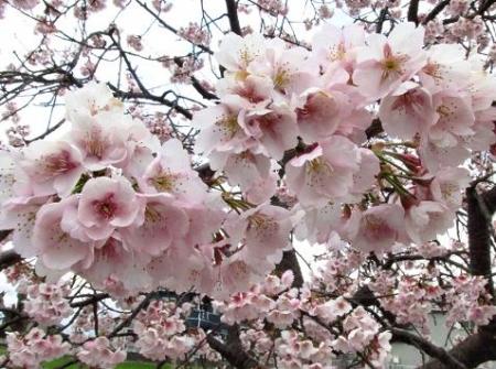 桜公園 010