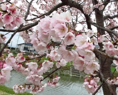 桜公園 030