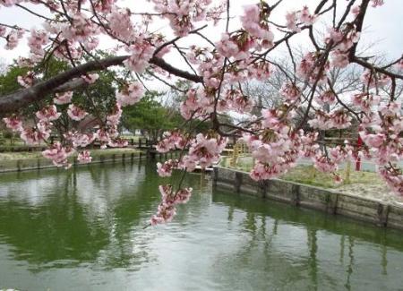 桜公園 027
