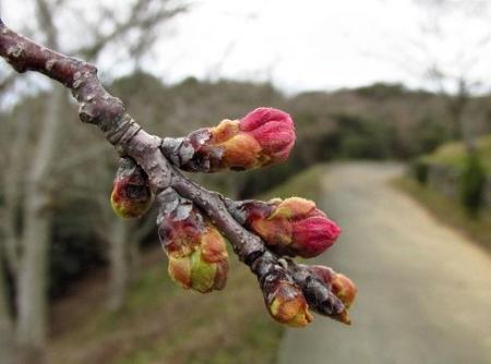 桜の蕾清水山 021
