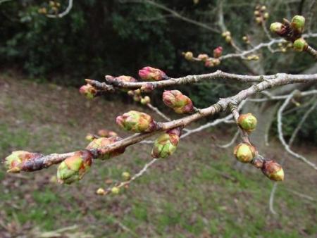 桜の蕾清水山 026