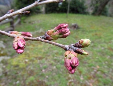 桜の蕾清水山 038