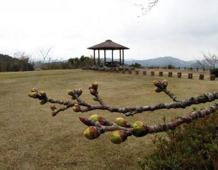 桜の蕾清水山 013