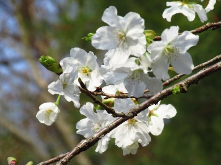 桜開花 清水 036